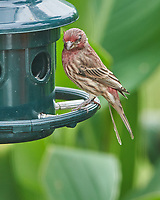 House Finch. Image taken with a Nikon D850 camera and 400 mm f/2. lens.
