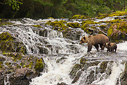 Grizzly Bear sow with cubs fishing. Chicagof Island, Alaska