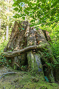 Giant Tree Stump with Moss in the Quinault Rainforest