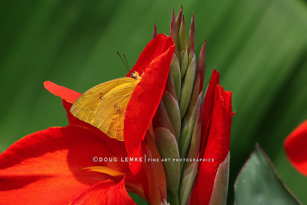 A Small Butterfly At Rest, Cloudless Sulphur, Phoebissennae,