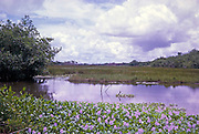 Water hyacinth plants, Eichhornia crassipes, flowering wetland ecosystem vegetation plants, Caroni swamp, Trinidad, Trinidad and Tobago, early 1960s