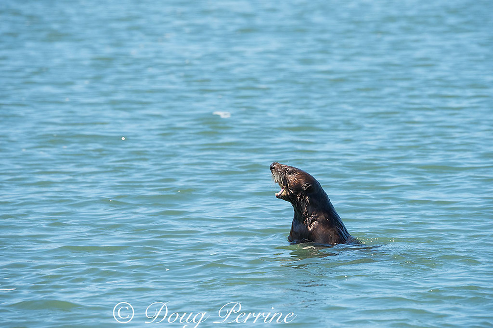 California sea otter or southern sea otter, Enhydra lutris nereis ( threatened species ), large pup calls for its mother, Elkhorn Slough, Moss Landing, California, United States ( Eastern Pacific )