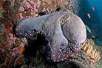 Reef Octopus Hunting.