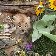 Canada Lynx, (Lynx canadensis) Montana. Young kitten in hollow log near Arrowroot Balsamroot. Flower. Captive Animal.