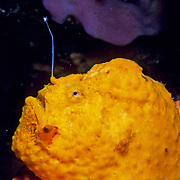 Caribbean Frogfish