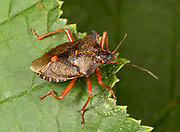 Close-up of an adult forest bug (Pentatoma rufipes) resting on leaves in a Surrey wood in summer