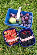 Freshly picked fruit plums, strawberries, blackberries, raspberries and a vegetable squash, Gloucestershire