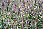 wild thistle flowering during fall season