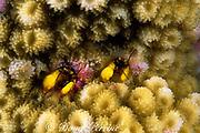 coral hermit crabs, Paguritta sp., Steve's Bommie, near Agincourt, Great Barrier Reef, Australia ( Western Pacific Ocean )