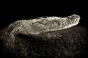 México, Quintana Roo, Chinchorro. Underwater portrait of an american crocodile.