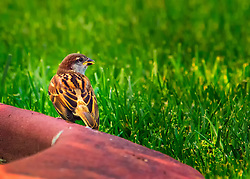 The setting sun casts a lovely light and really pops some of the colors on this Female House Sparrow
