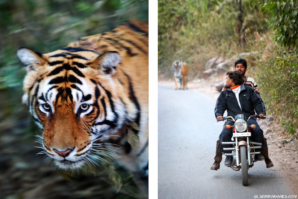 A very close encounter with a wild tiger in Ranthambore National Park, India.