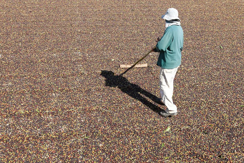 Palmeiral_MG, Brasil.<br /> <br /> Na foto Fazenda produtora de cafe em Palmiral, Minas Gerais.<br /> <br /> Coffee farm in Palmiral, Minas Gerais.<br /> <br /> Foto: LEO LARA / NITRO