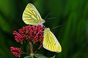 Green-veined White Butterfly (Pieris napi) two resting on red valerian flower, Oxfordshire, UK.