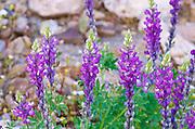 Desert Lupine (Lupinus sparsiflorus), Anza-Borrego Desert State Park, California USA