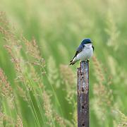 Tree swallow (Tachycineta bicolor) perched amid tall grasses at nature preserve, NE Ohio.