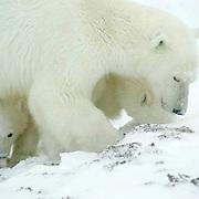Polar Bear (Ursus maritimus) Amother and her two cubs feeding on kelp at Cape Churchill, near Churchill, Manitoba, Canada, November.