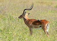 Two Red-billed Oxpeckers, Buphagus erythrorhynchus, search for insects on the back and neck of a Common Impala, Aepyceros melampus melampus, in Lake Nakuru National Park, Kenya