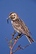 Lapland Longspur - Calcarius lapponicus - breeding female