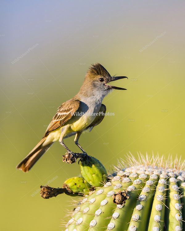 A Brown-crested Flycatcher (Myiarchus tyrannulus) calls from his perch near its nest in a Saguaro  (Carnegiea gigantea). (Arizona)