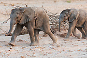 A breeding herd of desert elephants with two playful young calves (Loxodonta africana cyclotis) walking through the sandy Hoanib river bed, Skeleton Coast, Namibia