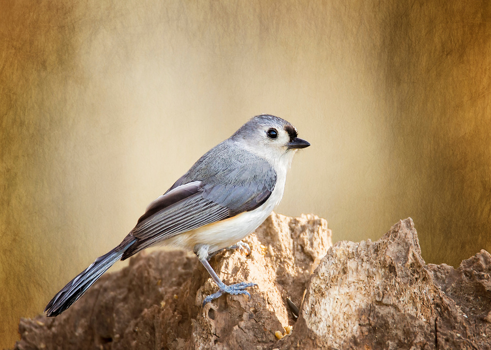 A Tufted Titmouse Posing On An Old Tree Stump