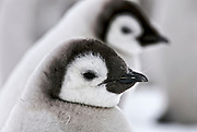 Emperor penguin chicks close up.