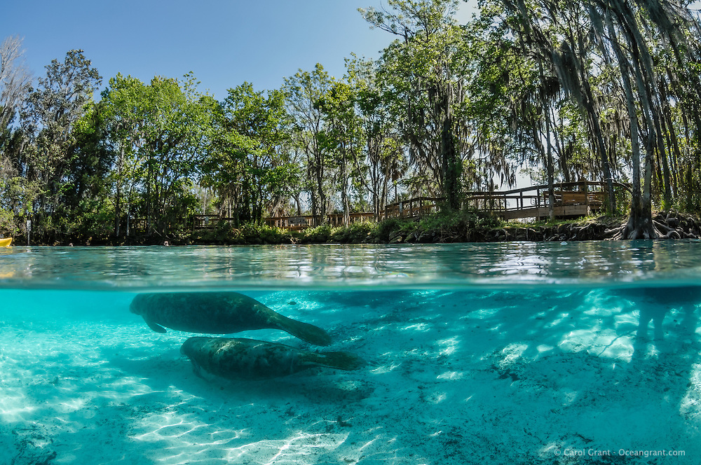 Florida manatee, Trichechus manatus latirostris, a subspecies of the West Indian manatee, endangered. A mother and calf swim towards the warmest blue spring fed waters. A boardwalk or viewing platform is visible amongst the many trees surrounding the springs. Horizontal orientation split image with light rays and shadows. Three Sisters Springs, Crystal River National Wildlife Refuge, Kings Bay, Crystal River, Citrus County, Florida USA.