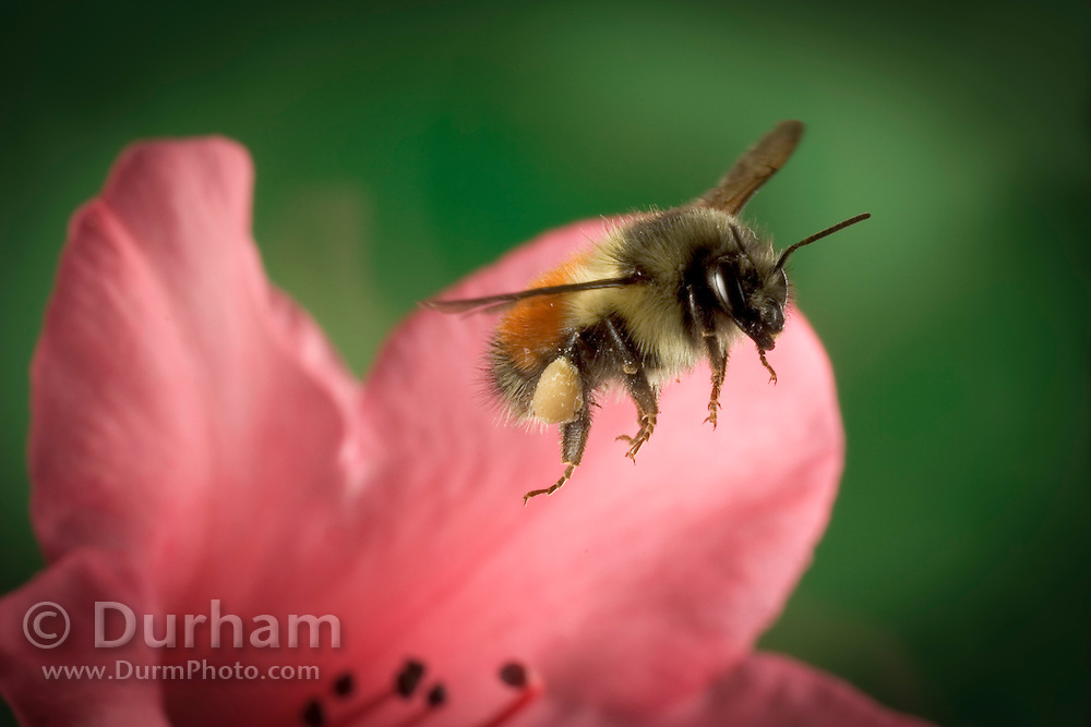 A large bumble bee (Bombus huntii) with full pollen baskets, flies from a rhododendron flower in NE Oregon.
