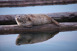 North America, United States, Washington, Everett, Harbor Seal (Phoca vitulina)  on dock with reflection, 10th Street Marina Park at the Port of Everett