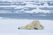 A polar bear (Ursus maritimus) pushing itself on the sea ice with its back legs while laying on its belly, Spitsbergen, Svalbard, Norway