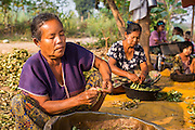 """01 MARCH 2014 - MAE SOT, TAK, THAILAND:  Burmese women shell beans in their community in the forest just north of Mae Sot. Mae Sot, on the Thai-Myanmer (Burma) border, has a very large population of Burmese migrants. Some are refugees who left Myanmar to escape civil unrest and political persecution, others are """"economic refugees"""" who came to Thailand looking for work and better opportunities.   PHOTO BY JACK KURTZ"""