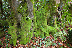 Mossy tree trunks in the woodland garden at Glebe Cottage
