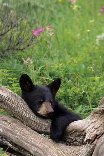 Black Bear, (Ursus americanus) Montana. Cub sleeping. Bridger Mountain. Range. Captive Animal.