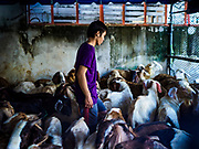 01 SEPTEMBER 2017 - BANGKOK, THAILAND: A man sorts rams in their pen before the Qurbani (ritual sacrifice of livestock) at the celebration of Eid al-Adha at Haroon Mosque in Bangkok. Eid al-Adha is also called the Feast of Sacrifice, the Greater Eid or Baqar-Eid. It honours the willingness of Abraham to sacrifice his son. Goats, sheep and cows are sacrificed in a ritualistic manner after services in the mosque. The meat from the sacrificed animal is supposed to be divided into three parts. The family retains one third of the share; another third is given to relatives, friends and neighbors; and the remaining third is given to the poor and needy.     PHOTO BY JACK KURTZ