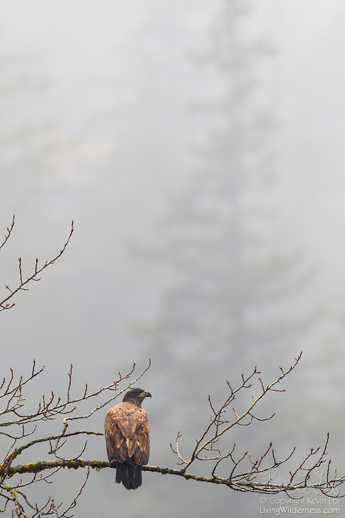 A juvenile bald eagle (Haliaeetus leucocephalus) hunts for food from its foggy perch over the Squamish River near Brackendale, British Columbia, Canada.