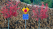 Autumn maple trees juxtaposed to a commerical log yard, Port of Port Angeles, Olympic Peninsula, Washington, USA