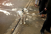 Dalmation dog on a lease behind group of people