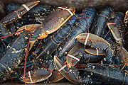 A box of freshly caught lobster ready for market, Folkestone Harbour, Kent, United Kingdom.
