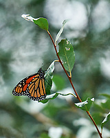 Monarch resting on a bush. Image taken with a Leica SL2 camera and Sigma 150-600 mm Sport lens.
