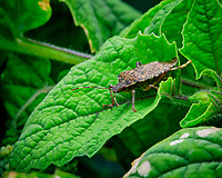 Stink Bug lurking on my indoor hydroponic garden  Ground Cherry plants. Image taken with a Fuji X-T3 camera and 80 mm f/2.8 macro lens (ISO 160, 80 mm, f/16, 1/30 sec).