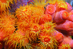 Orange Cup Corals open up like flowers when the sun goes down.
