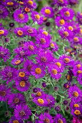 Symphyotrichum novae-angliae 'Violetta' syn. Aster novae-angliae 'Violetta' - New England Aster