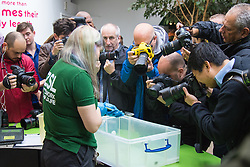 ZSL London, August 26th 2015. Photographers crowd round as Zoe Bryant of ZSL London weighs a tiny 0.5 gram Iberian Midwife Toad as the zoo holds its annual weigh-in of  animals.