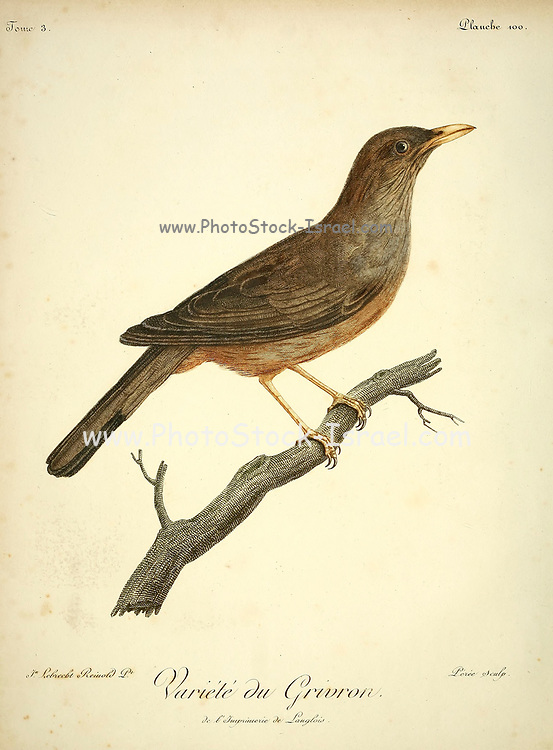 Grivron [GRIVROU] Unidentified Thrush from the Book Histoire naturelle des oiseaux d'Afrique [Natural History of birds of Africa] Volume 3, by Le Vaillant, François, 1753-1824; Publish in Paris by Chez J.J. Fuchs, libraire 1799 - 1802