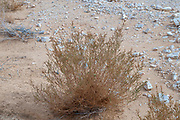 Desert botany dead dry plant Uvda Desert Landscape. Uvda is the name of a region in the southern Negev desert, directly north of Eilat, Israel The Uvda Valley is known for the 7000-year-old Uvda Leopard Temple and other prehistoric sites