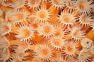 Parazoanthus elongatus (Yellow zoathhid anemone)