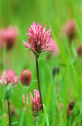 Red clover - Trifolium pratense growing in the front meadow at Great Dixter