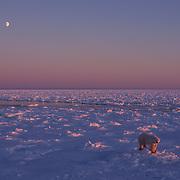 Polar bear on Hudson Bay, Canada.
