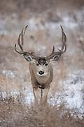 Trophy mule deer buck in snow